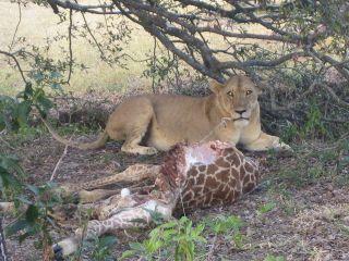Liondining