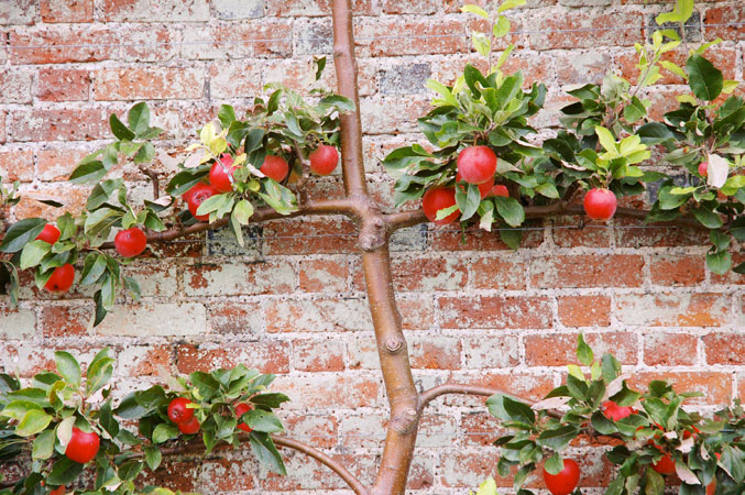 Wimpole_hall_gardens_espalier_apple_tree