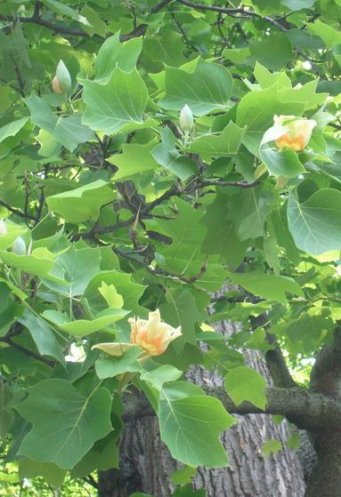Tuliptree_2